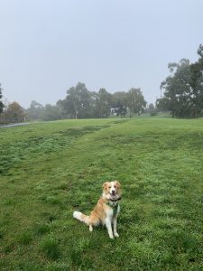 A blonde and white border collie named Bonnie is sitting on a green field. It is a very foggy day. Bonnie is sitting and looking at the camera.